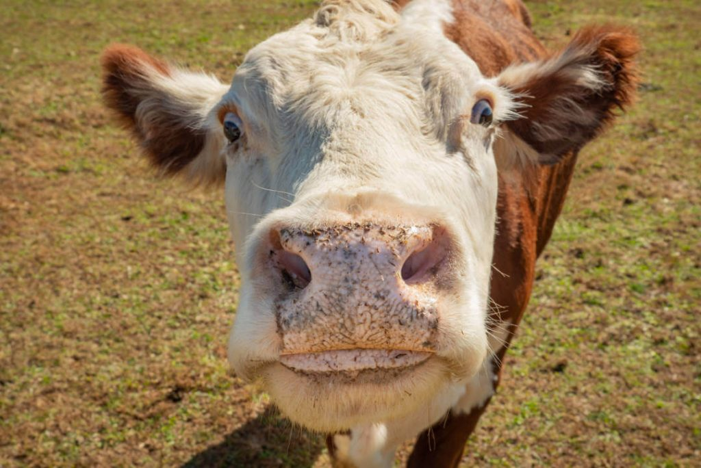 curious cow with nose close to camera
