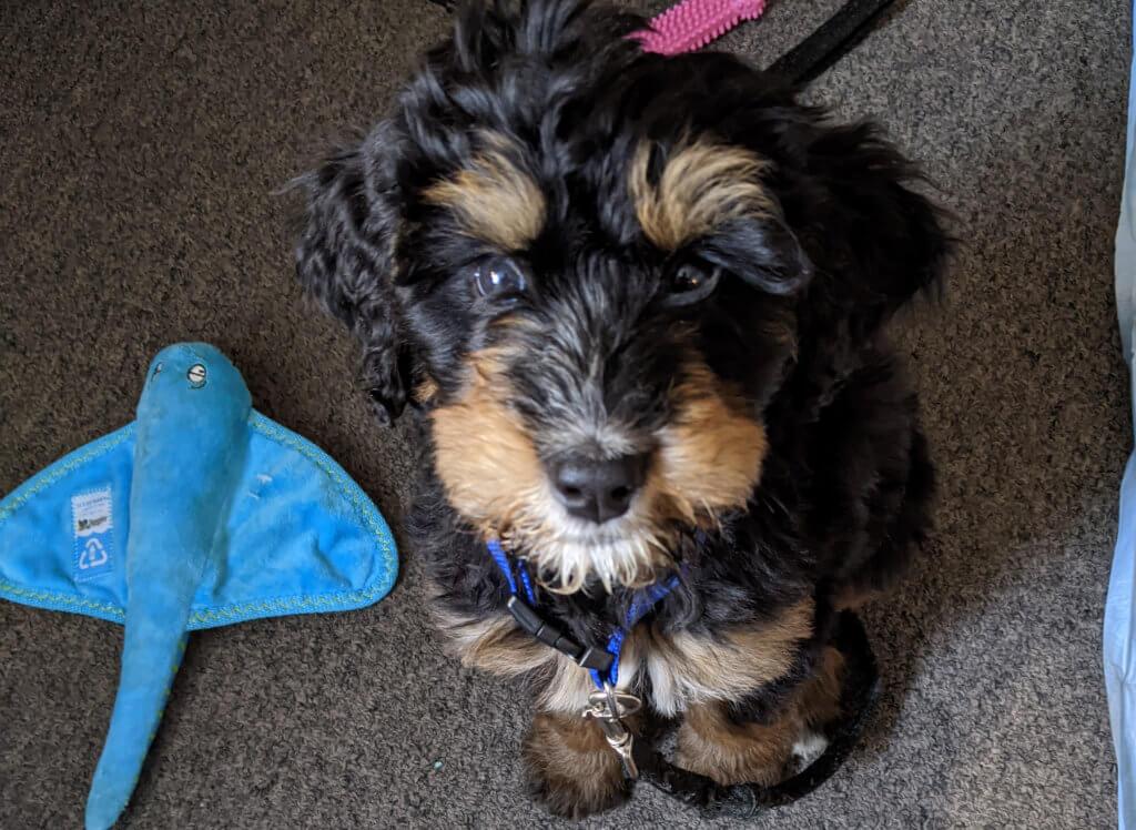 Marcus Aurelius - Bernedoodle Therapy Dog